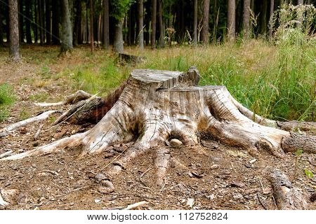 Tree Stump In A Forest Clearing