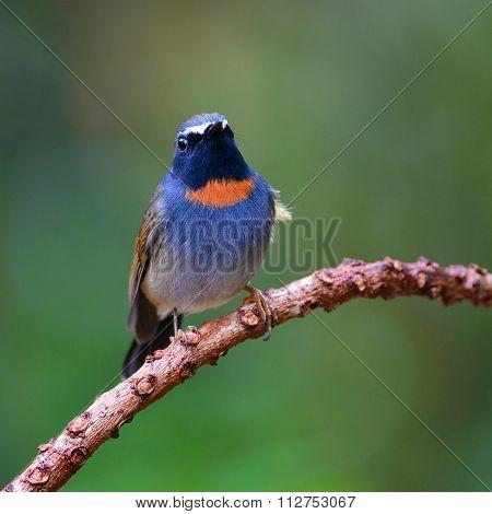 Rufous-gorgeted Flycatcher Bird