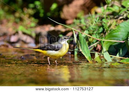 Grey Wagtail Bird