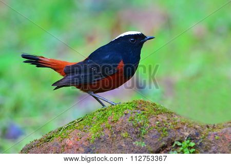 White-capped Water Redstart Bird
