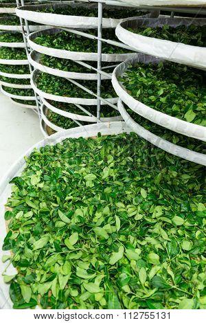 Fermentation tray of tea