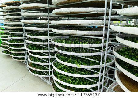 Fermentation for tea in factory