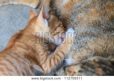 Sucking Milk Little Cute Kitten