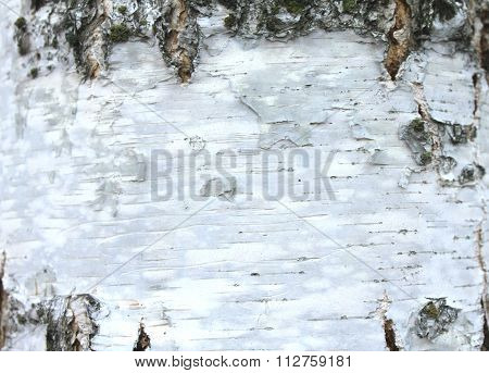 closeup of birch bark texture, natural background paper
