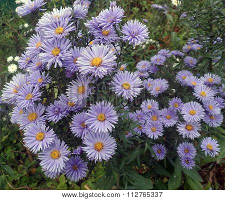 Tall perennial asters