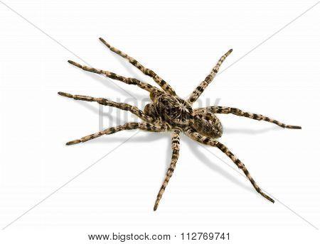 Spider - Creepy Fear