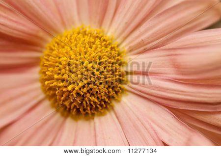 Helichrysum Paper Daisy