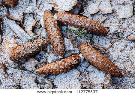 Pinecone On Ground