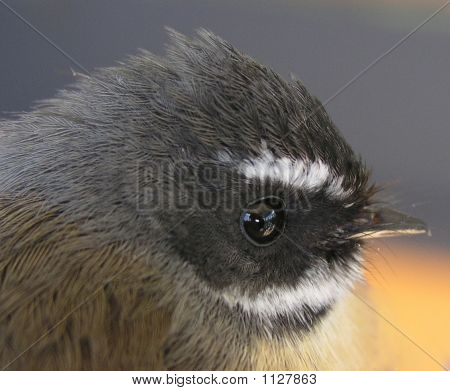 The New Zealand Fantail