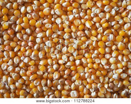 Pop Corn Maize