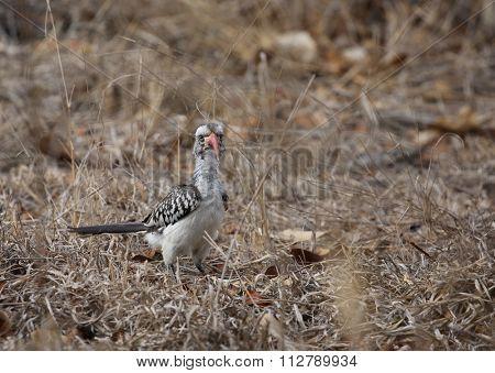 yellow billed hornbill. wild animal in Kruger National Park, Sou
