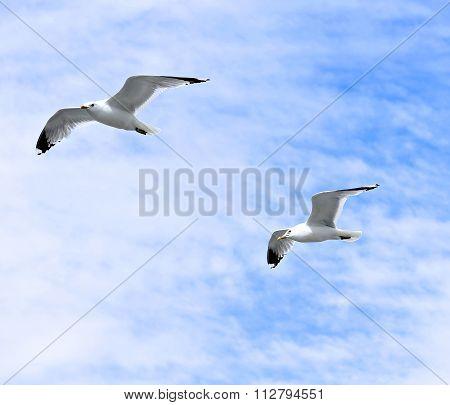 Two Mediterranean White Seagulls Flying