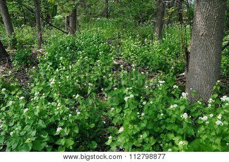Wild Garlic Mustard Plants