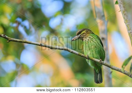 Green-eared Barbet Sitting On The Fig Tree