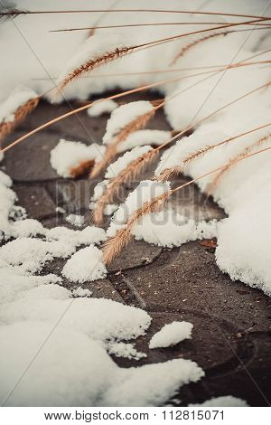 small spikelets with snow and asphalt