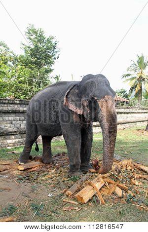 Sri Lankan elephant in Kandy, Sri Lanka