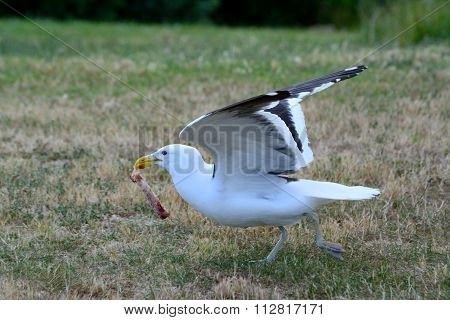 Black backed gull taking off with a piece of meat