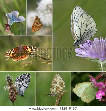 Collage of European butterfly species, Series III