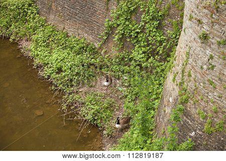 Duck Sitting On Her Nest