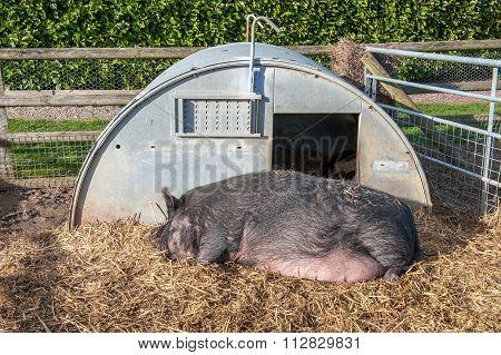 Pig asleep outside hut