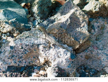 typical lizard in Canary Island