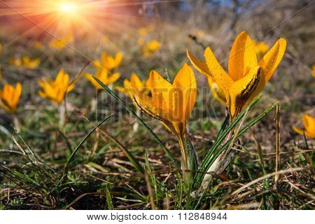 nice yellow crocuses flowers on meadow