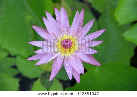 Purple Lotus Flower Top View In The Pool Has Some Drop Water On The Petal, Symbol Of Purity.