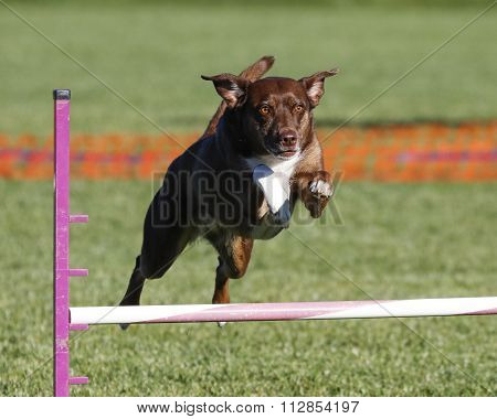 Brown Border Collie on agility course