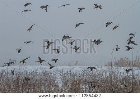 Wild Ducks In Winter