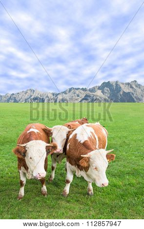 Group Of Cows Calves Grazing Against Alps Mountains Pasture Landscape