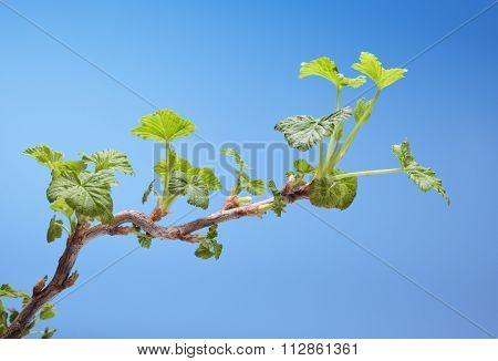 Blooming Blackcurrant Twig