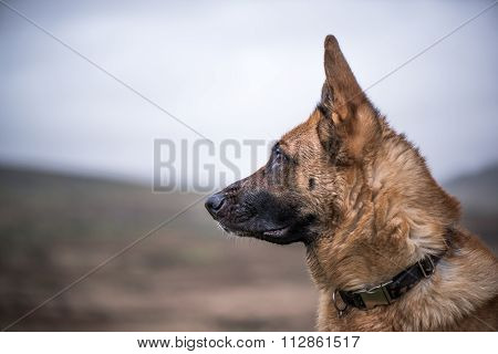 K9 Working Security Dog Portrait