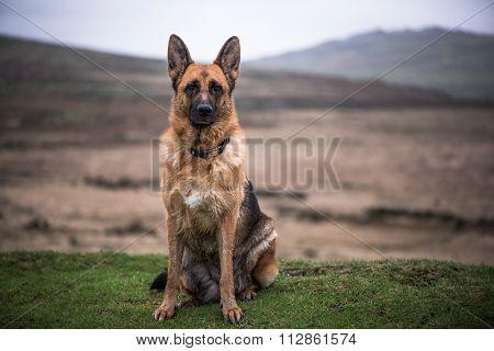 Potrait Of German Shepherd Dog