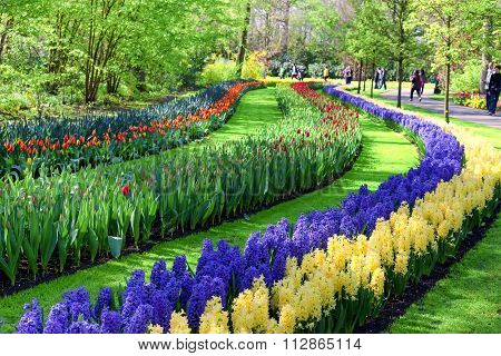 Blue and Yellow Hyacinth Flowers. Keukenhof Garden, Netherlands