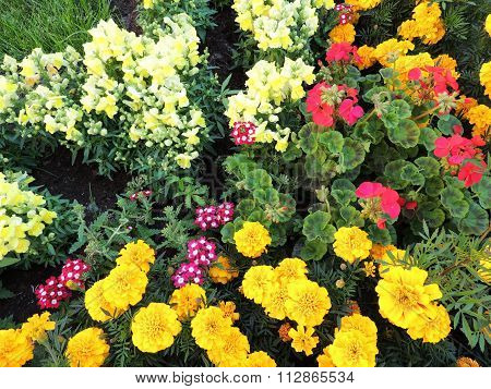 Blooming flower bed of marigolds, snapdragons and Pelargonium