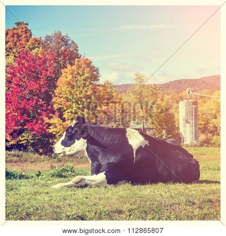 Holstein Friesian breed of cow in a field during the New England fall with Instagram effect filter