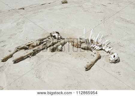 Guanaco Remains