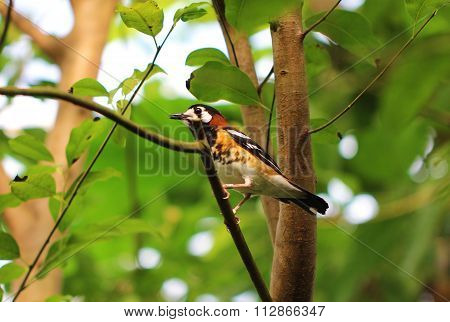 Chestnut-backed Ground Thrush