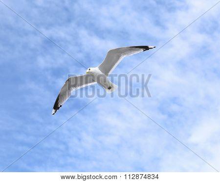 Mediterranean White Seagull Flying