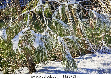 Snowy Fur Trees Winter Leaves Snow Ice  Wenatchee River Valley Leavenworth Washington