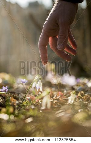Closeup Of Male Hand Reaching Down To Touch A Delicate First Spring Snowdrop Flower