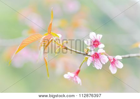 Wild Himalayan Cherry, Cherry,sour Cherry,sakura Or Cherry Blossom Flower