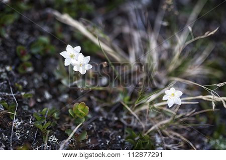 Tundra Plants In Lapland, Sweden