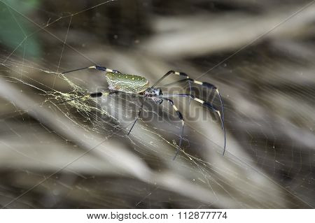 Large Spider Sitting in its Web