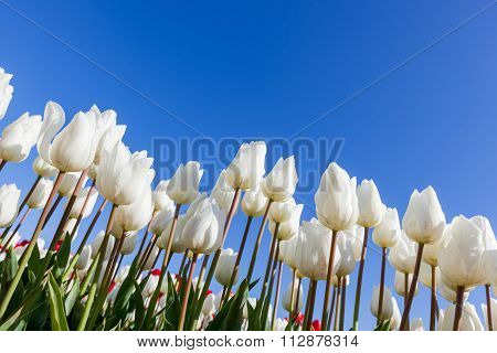 White Tulips And Blue Sky