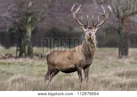 Imperial Red Deer