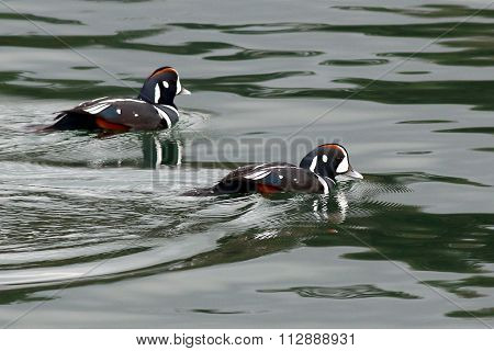 Harlequin Ducks on Green Water