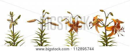 The Sequence Of Blooming Flower Of Lilies Asian Hybrids