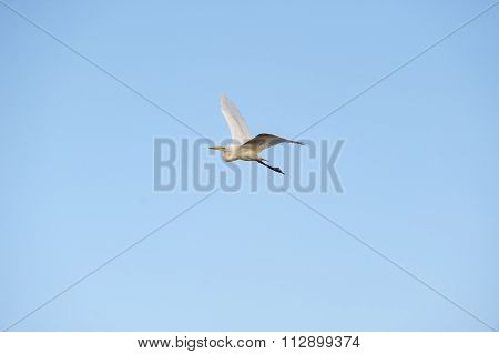 Great Egret Flight Banking Left
