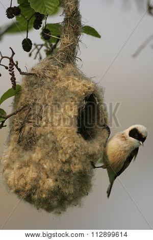 Eurasian penduline